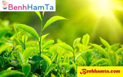 Ngọn trà xanh trị hăm tã - Mẹo chữa hăm tã cho trẻ sơ sinh